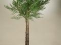 Sequoiadendron giganteum_1comp