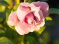 rose_13